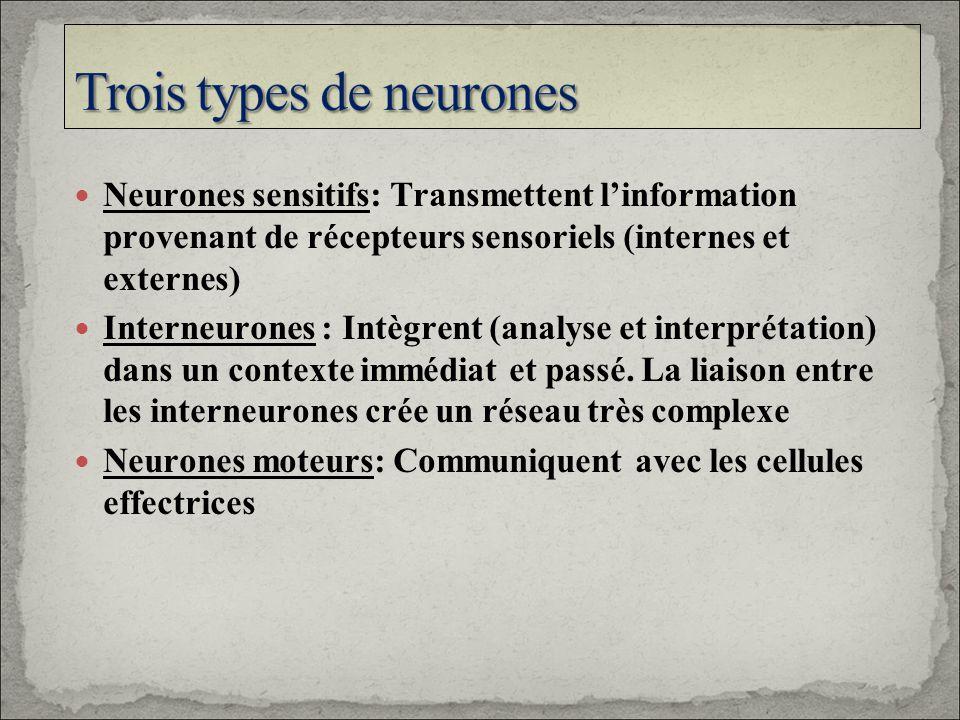 Neurones sensitifs: Transmettent linformation provenant de récepteurs sensoriels (internes et externes) Interneurones : Intègrent (analyse et interpré