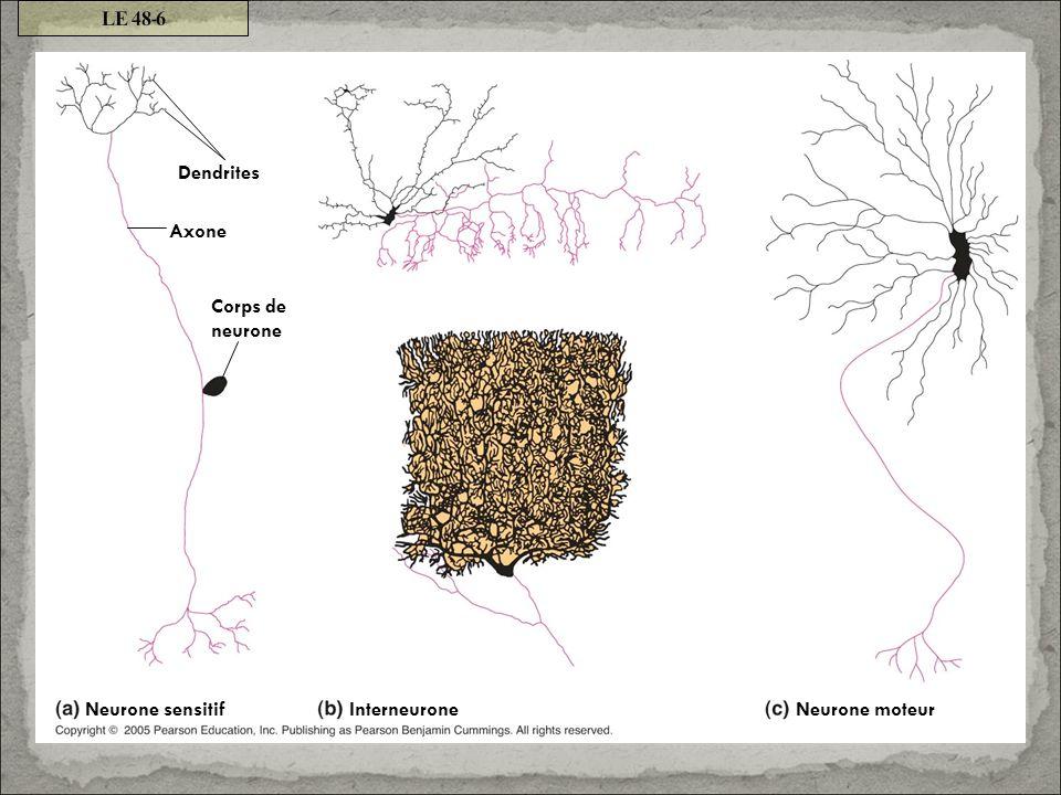 Dendrites Corps de neurone Axone Interneurone Neurone sensitif Neurone moteur