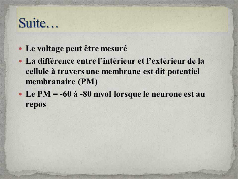 Le voltage peut être mesuré La différence entre lintérieur et lextérieur de la cellule à travers une membrane est dit potentiel membranaire (PM) Le PM