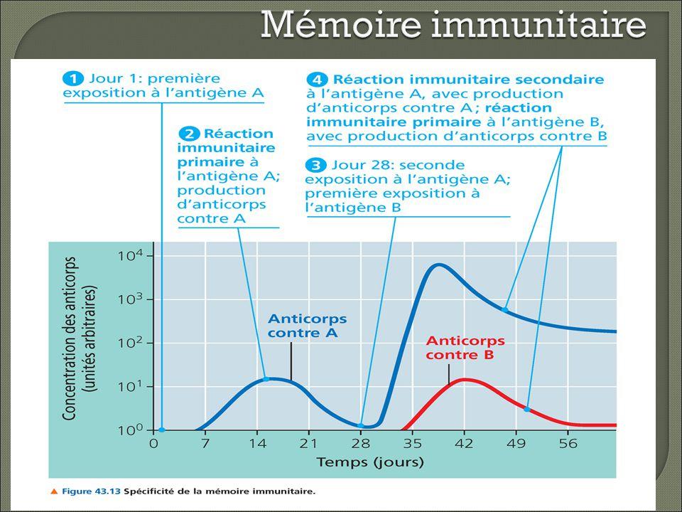 Immunité humorale active Les lymphocytes B rencontrent les Ag et produisent des Ac contre eux Immunité acquise naturellement: en réponse à une infection bactérienne ou virale Immunité acquise artificiellement: en réponse à un vaccin dagents pathogènes morts ou atténués Vaccins: Nous épargnent les symptomes de la maladie et leurs Ag affaiblis fournissent des déterminants antigéniques fonctionnels Les lymphocytes B rencontrent les Ag et produisent des Ac contre eux Immunité acquise naturellement: en réponse à une infection bactérienne ou virale Immunité acquise artificiellement: en réponse à un vaccin dagents pathogènes morts ou atténués Vaccins: Nous épargnent les symptomes de la maladie et leurs Ag affaiblis fournissent des déterminants antigéniques fonctionnels