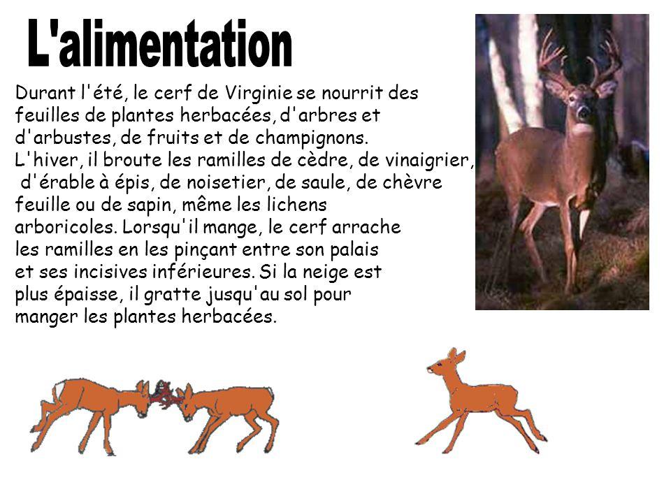Durant l'été, le cerf de Virginie se nourrit des feuilles de plantes herbacées, d'arbres et d'arbustes, de fruits et de champignons. L'hiver, il brout