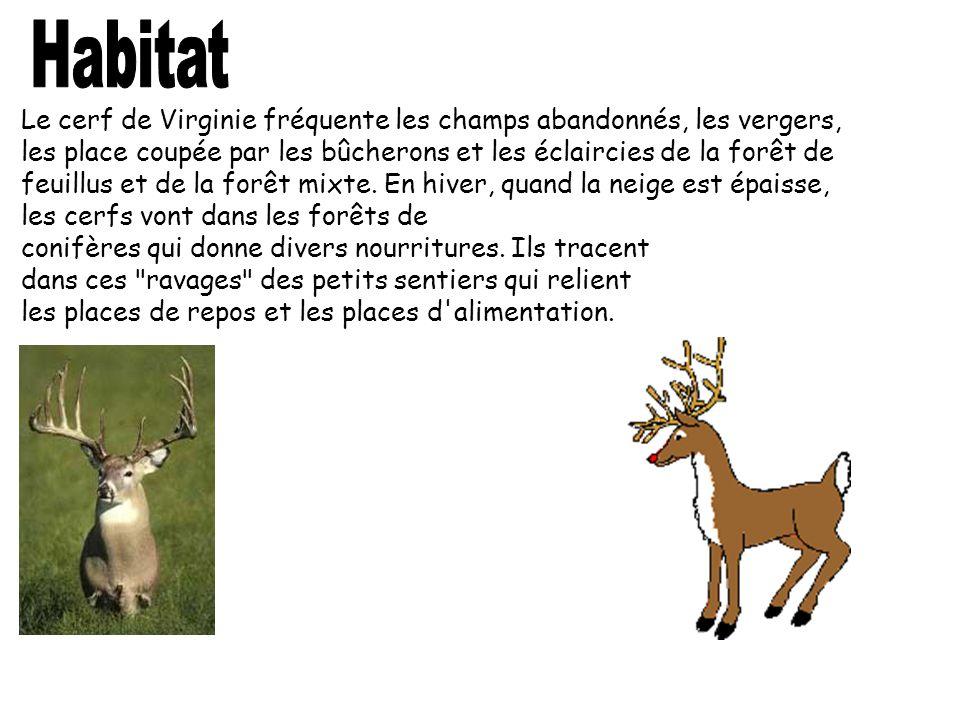 Le cerf de Virginie fréquente les champs abandonnés, les vergers, les place coupée par les bûcherons et les éclaircies de la forêt de feuillus et de l