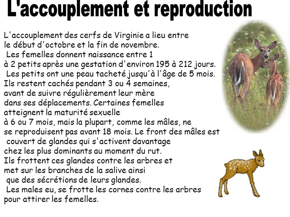 L'accouplement des cerfs de Virginie a lieu entre le début d'octobre et la fin de novembre. Les femelles donnent naissance entre 1 à 2 petits après un