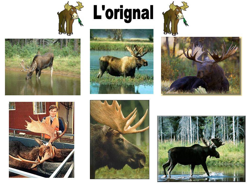 L orignal habite les forêts mixtes de conifères et de feuillus, et beaucoup les sapinières à bouleau blanc ou à bouleau jaune, où il occupe un terrain de 5 à 10 km² de superficie.