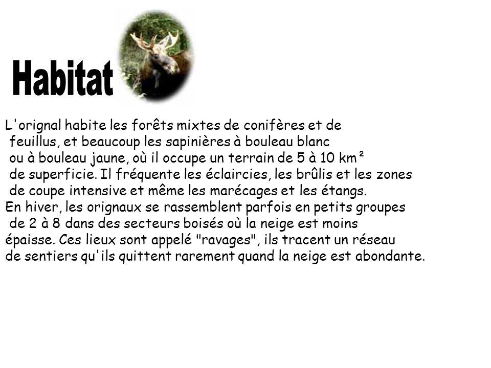 L'orignal habite les forêts mixtes de conifères et de feuillus, et beaucoup les sapinières à bouleau blanc ou à bouleau jaune, où il occupe un terrain