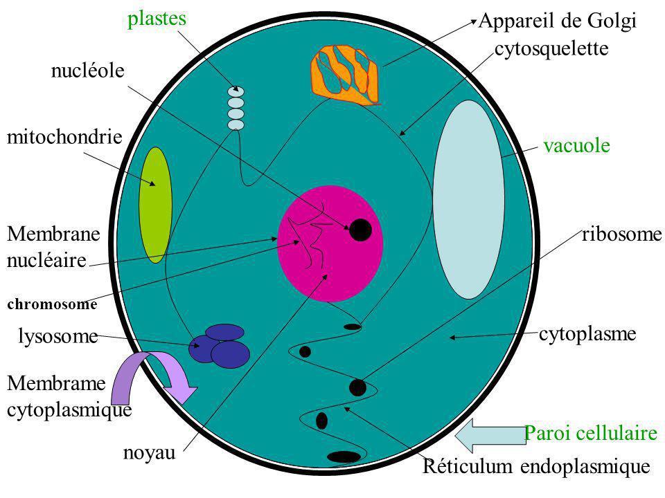 mitochondrie nucléole plastes Appareil de Golgi cytosquelette vacuole ribosome cytoplasme Paroi cellulaire Réticulum endoplasmique noyau Membrame cyto