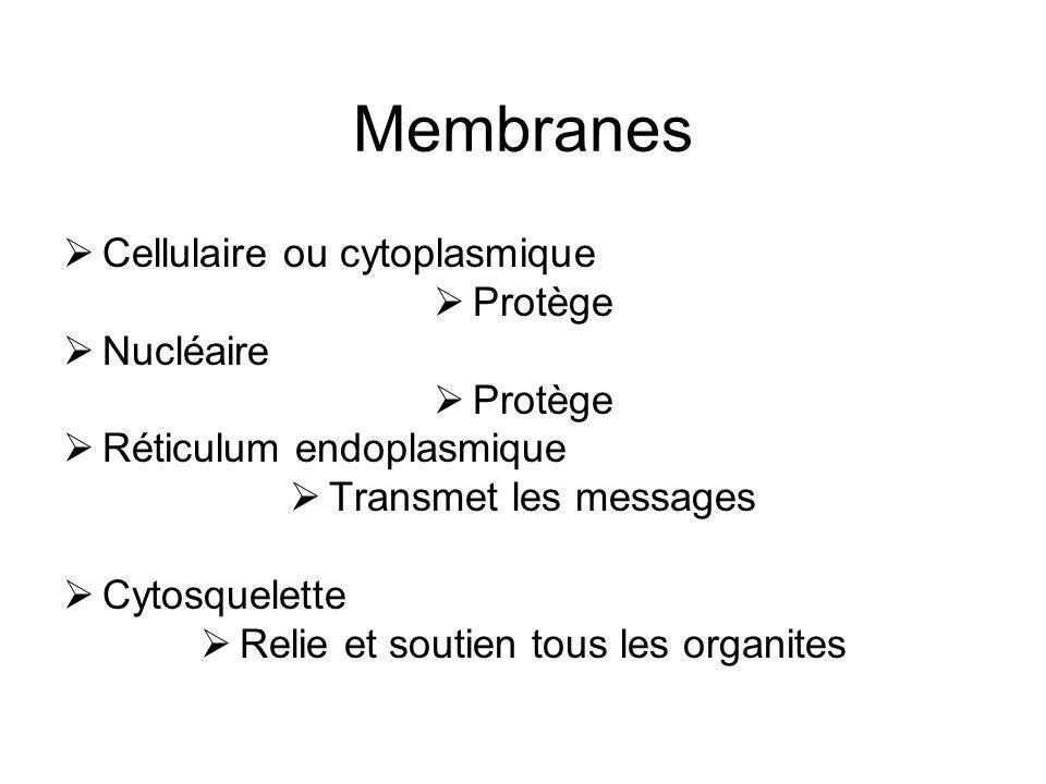 Membranes Cellulaire ou cytoplasmique Protège Nucléaire Protège Réticulum endoplasmique Transmet les messages Cytosquelette Relie et soutien tous les