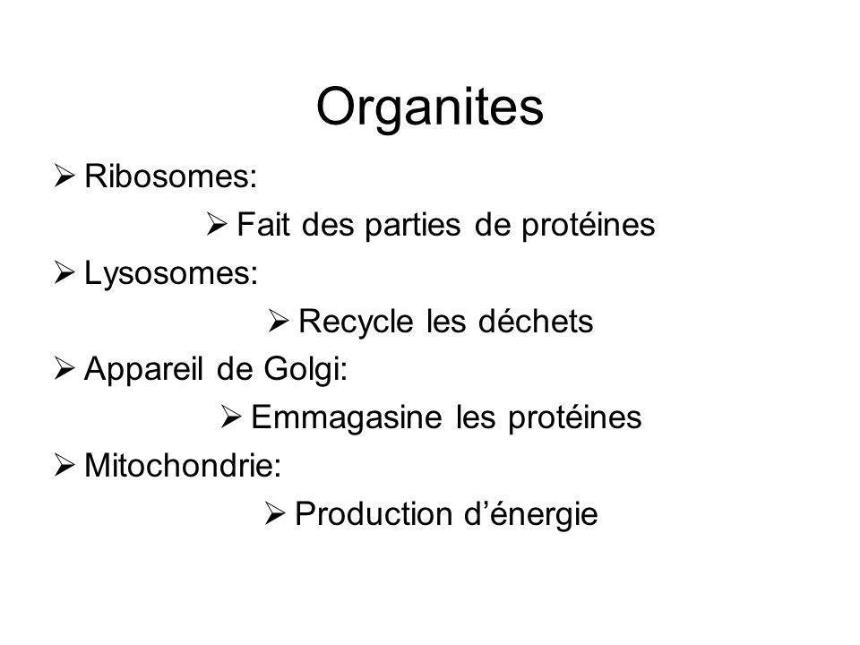 Organites Ribosomes: Fait des parties de protéines Lysosomes: Recycle les déchets Appareil de Golgi: Emmagasine les protéines Mitochondrie: Production
