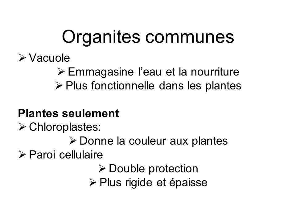 Organites communes Vacuole Emmagasine leau et la nourriture Plus fonctionnelle dans les plantes Plantes seulement Chloroplastes: Donne la couleur aux