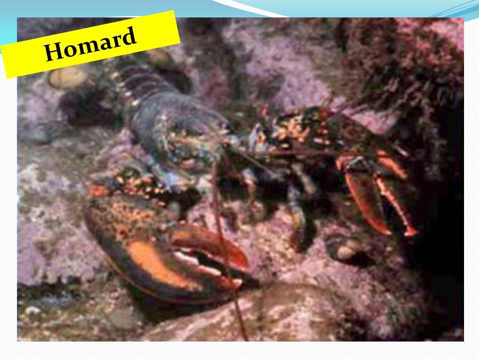 Homard