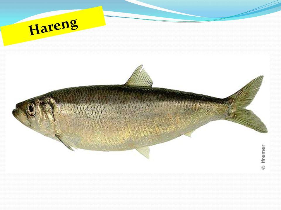 Hareng
