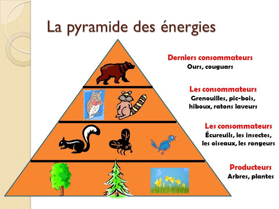 La pyramide des énergies Derniers consommateurs Ours, couguars Les consommateurs Grenouilles, pic-bois, hiboux, ratons laveurs Les consommateurs Écure