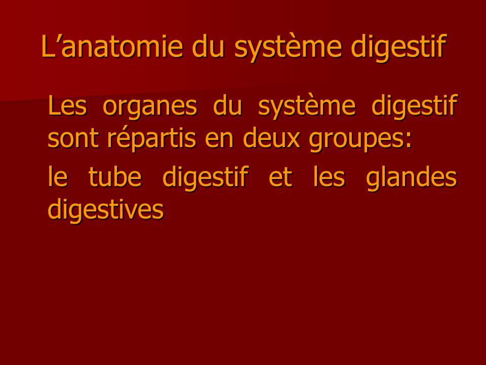 Lanatomie du système digestif Les organes du système digestif sont répartis en deux groupes: le tube digestif et les glandes digestives