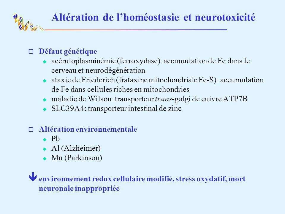 Altération de lhoméostasie et neurotoxicité o Défaut génétique acéruloplasminémie (ferroxydase): accumulation de Fe dans le cerveau et neurodégénérati