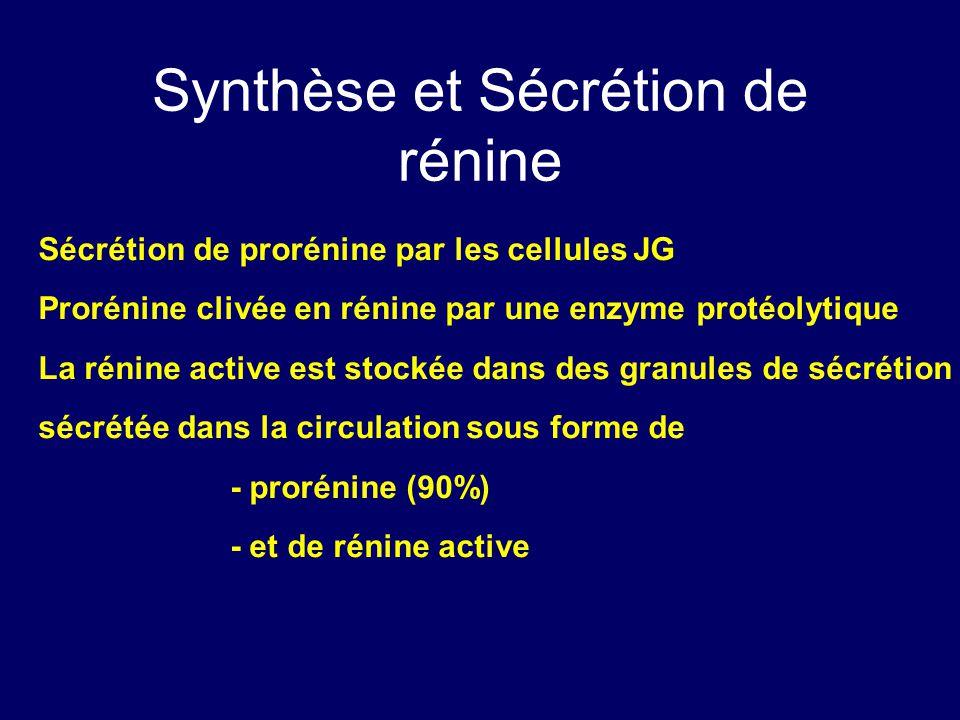 Synthèse et Sécrétion de rénine Sécrétion de prorénine par les cellules JG Prorénine clivée en rénine par une enzyme protéolytique La rénine active es