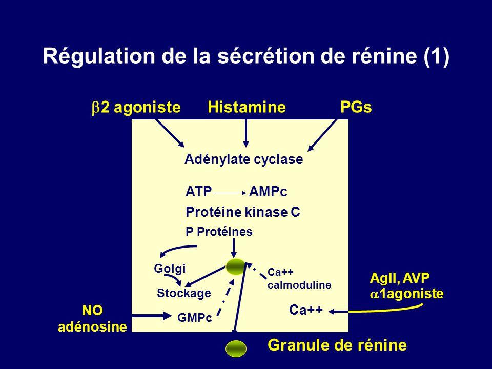 Régulation de la sécrétion de rénine (1) 2 agoniste Histamine PGs Adénylate cyclase ATP AMPc Protéine kinase C Stockage NO adénosine Granule de rénine AgII, AVP 1agoniste Ca++ P Protéines Golgi Ca++ calmoduline GMPc
