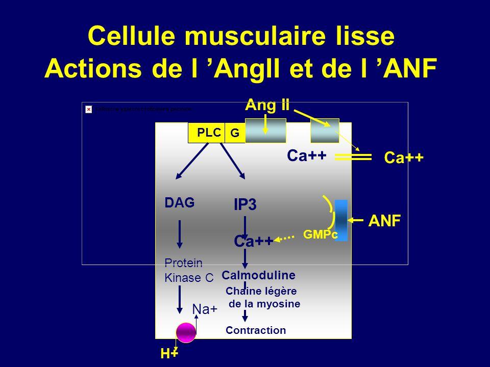 Cellule musculaire lisse Actions de l AngII et de l ANF G PLC DAG Protein Kinase C Na+ H+ Ang II Ca++ ANF GMPc IP3 Ca++ Calmoduline Chaine légère de la myosine Contraction