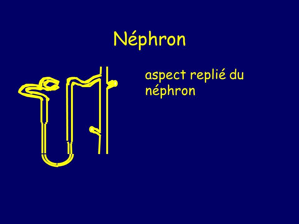 Néphron aspect replié du néphron