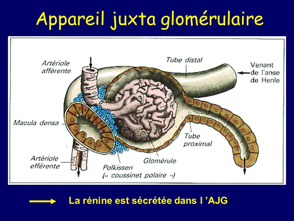 Appareil juxta glomérulaire La rénine est sécrétée dans l AJG