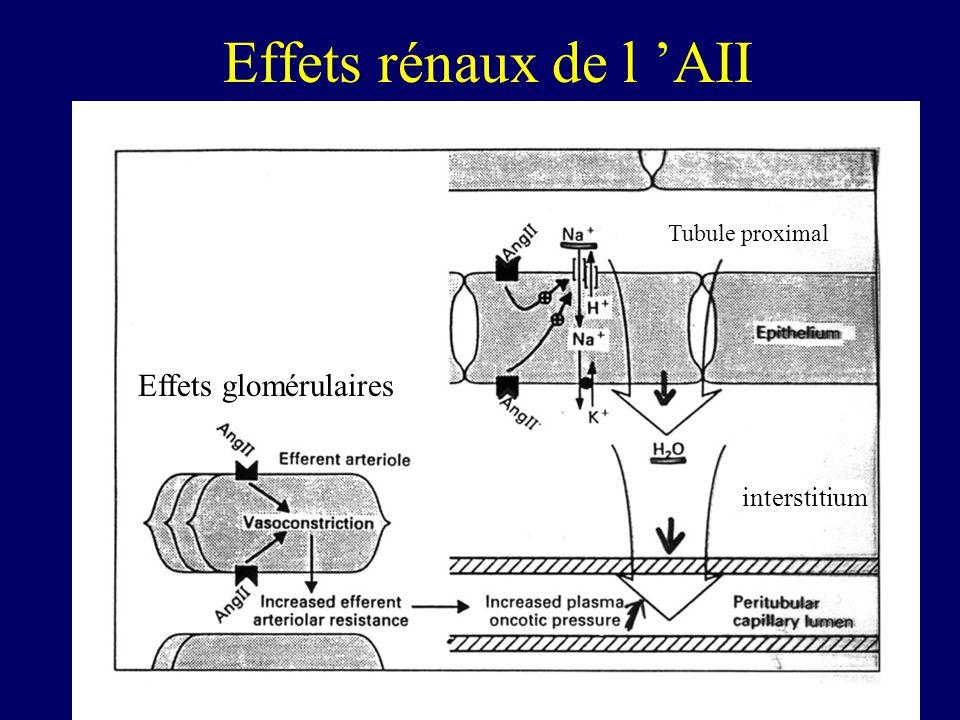 Effets rénaux de l AII Effets glomérulaires Tubule proximal interstitium