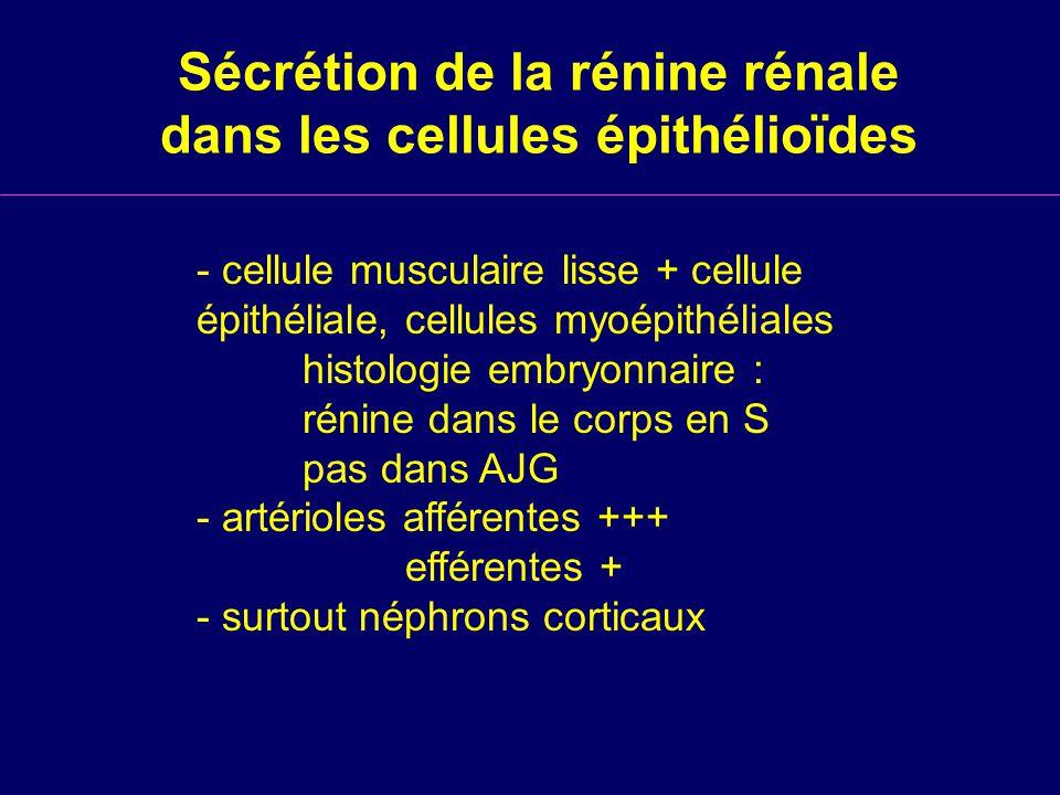 Sécrétion de la rénine rénale dans les cellules épithélioïdes - cellule musculaire lisse + cellule épithéliale, cellules myoépithéliales histologie embryonnaire : rénine dans le corps en S pas dans AJG - artérioles afférentes +++ efférentes + - surtout néphrons corticaux