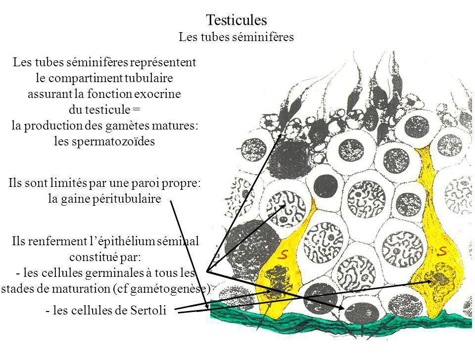 Testicules Les tubes séminifères Les tubes séminifères représentent le compartiment tubulaire assurant la fonction exocrine du testicule = la production des gamètes matures: les spermatozoïdes Ils sont limités par une paroi propre: la gaine péritubulaire Ils renferment lépithélium séminal constitué par: - les cellules germinales à tous les stades de maturation (cf gamétogenèse) - les cellules de Sertoli