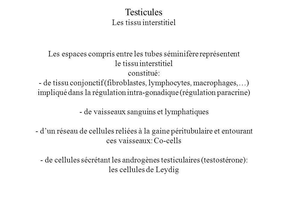 Testicules Les tissu interstitiel Les espaces compris entre les tubes séminifère représentent le tissu interstitiel constitué: - de tissu conjonctif (