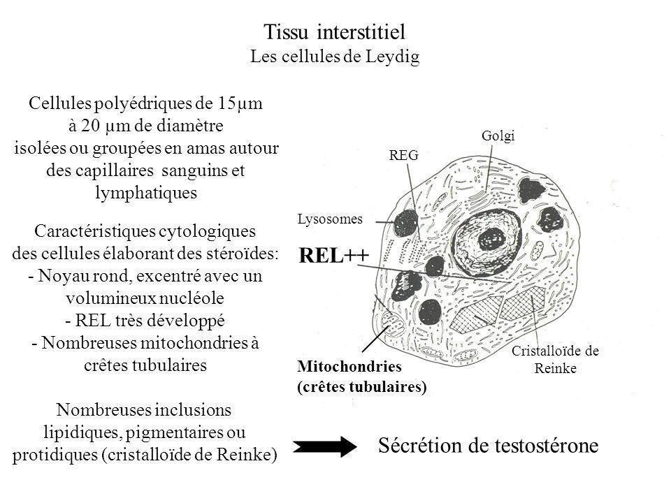 Tissu interstitiel Les cellules de Leydig Golgi REG Lysosomes Cristalloïde de Reinke Mitochondries (crêtes tubulaires) REL++ Cellules polyédriques de 15µm à 20 µm de diamètre isolées ou groupées en amas autour des capillaires sanguins et lymphatiques Caractéristiques cytologiques des cellules élaborant des stéroïdes: - Noyau rond, excentré avec un volumineux nucléole - REL très développé - Nombreuses mitochondries à crêtes tubulaires Nombreuses inclusions lipidiques, pigmentaires ou protidiques (cristalloïde de Reinke) Sécrétion de testostérone