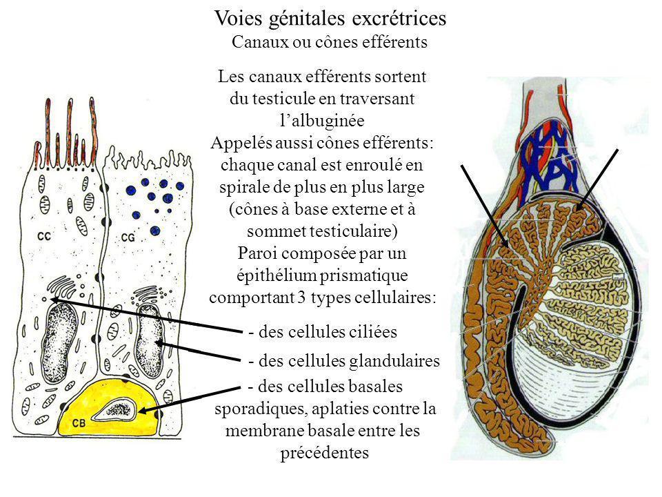 Voies génitales excrétrices Canaux ou cônes efférents Les canaux efférents sortent du testicule en traversant lalbuginée Appelés aussi cônes efférents