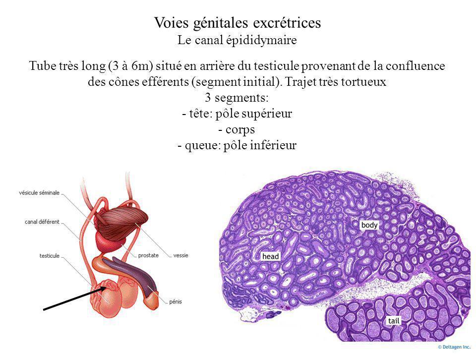 Voies génitales excrétrices Le canal épididymaire Tube très long (3 à 6m) situé en arrière du testicule provenant de la confluence des cônes efférents (segment initial).