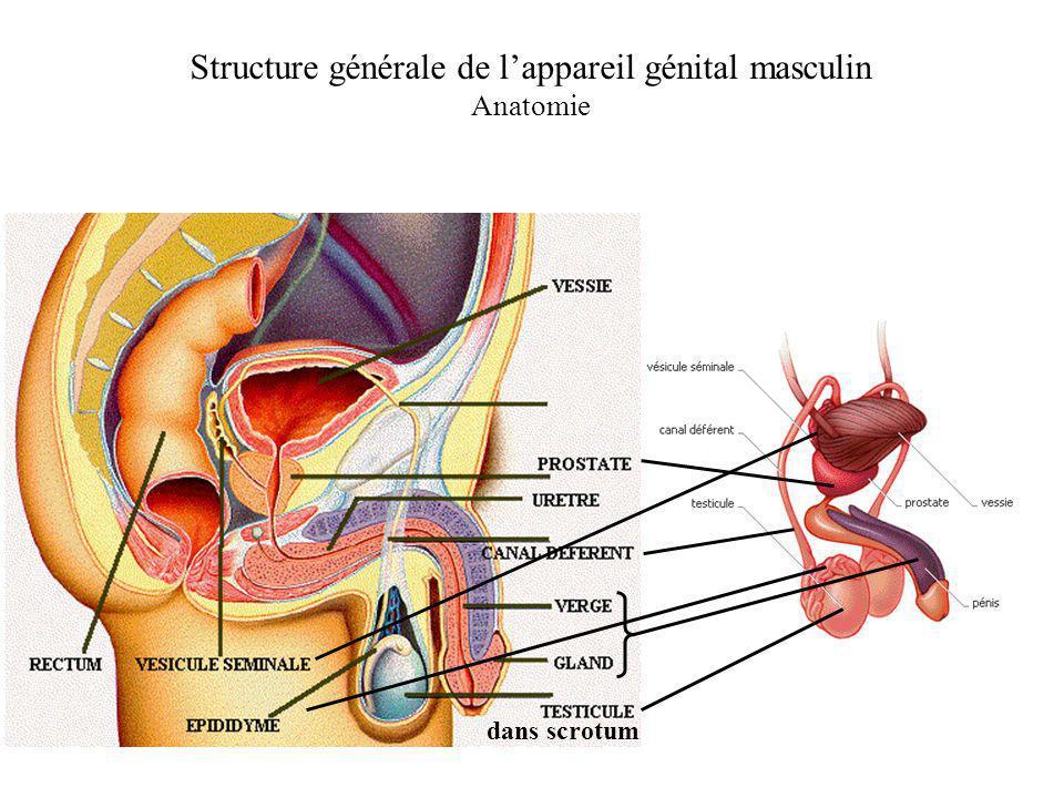 Structure générale de lappareil génital masculin Anatomie dans scrotum