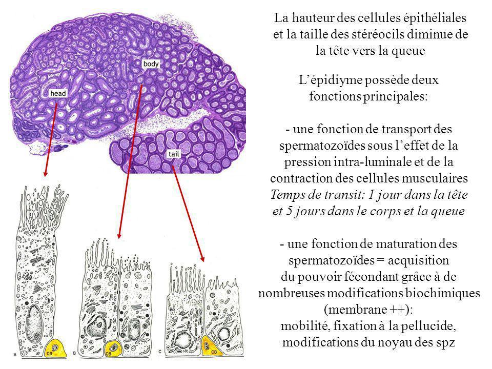 La hauteur des cellules épithéliales et la taille des stéréocils diminue de la tête vers la queue Lépidiyme possède deux fonctions principales: - une fonction de transport des spermatozoïdes sous leffet de la pression intra-luminale et de la contraction des cellules musculaires Temps de transit: 1 jour dans la tête et 5 jours dans le corps et la queue - une fonction de maturation des spermatozoïdes = acquisition du pouvoir fécondant grâce à de nombreuses modifications biochimiques (membrane ++): mobilité, fixation à la pellucide, modifications du noyau des spz