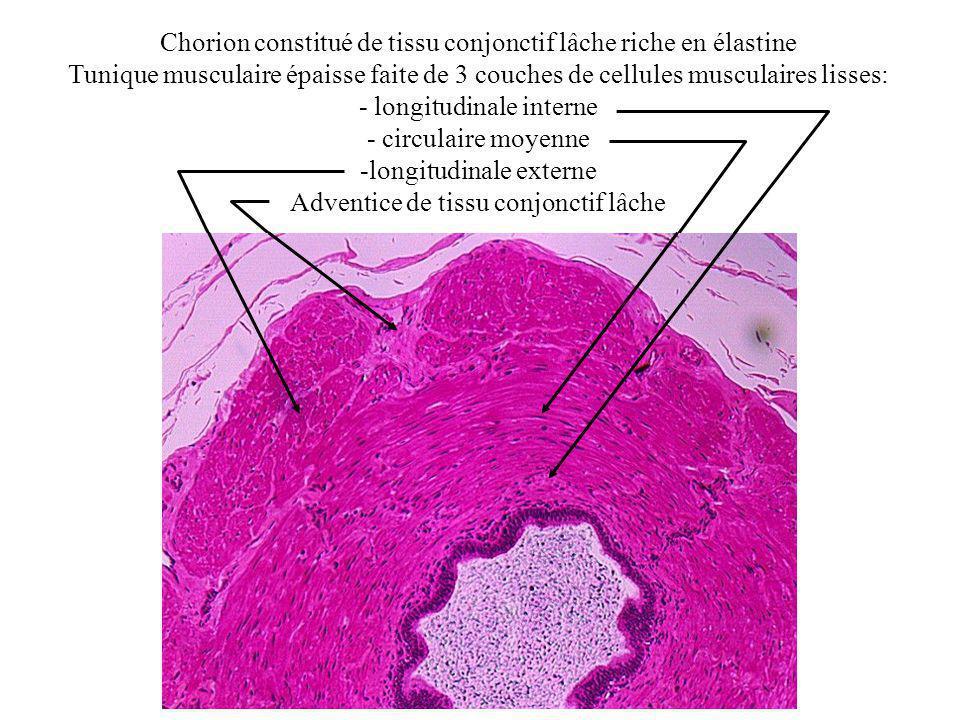 Chorion constitué de tissu conjonctif lâche riche en élastine Tunique musculaire épaisse faite de 3 couches de cellules musculaires lisses: - longitudinale interne - circulaire moyenne -longitudinale externe Adventice de tissu conjonctif lâche