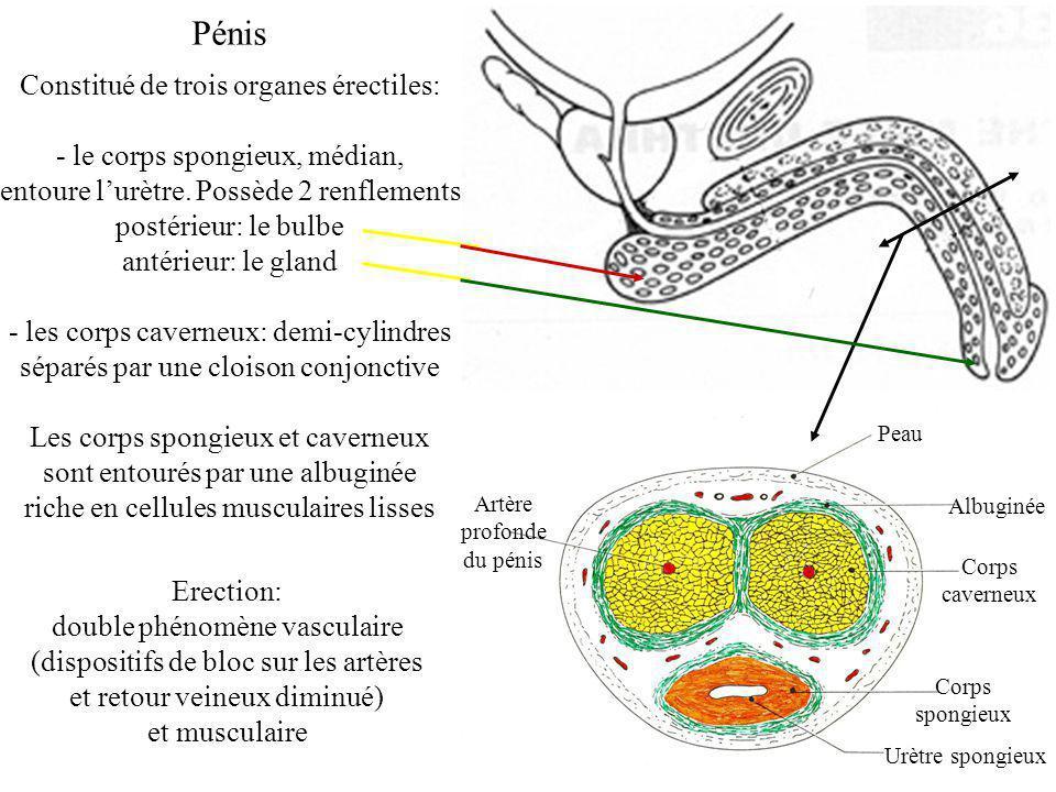 Peau Albuginée Corps caverneux Corps spongieux Urètre spongieux Artère profonde du pénis Pénis Constitué de trois organes érectiles: - le corps spongieux, médian, entoure lurètre.