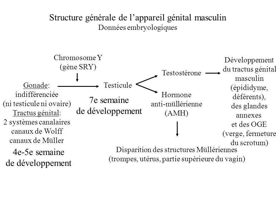 Structure générale de lappareil génital masculin Données embryologiques Gonade: indifférenciée (ni testicule ni ovaire) Tractus génital: 2 systèmes ca