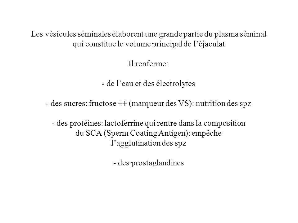 Les vésicules séminales élaborent une grande partie du plasma séminal qui constitue le volume principal de léjaculat Il renferme: - de leau et des électrolytes - des sucres: fructose ++ (marqueur des VS): nutrition des spz - des protéines: lactoferrine qui rentre dans la composition du SCA (Sperm Coating Antigen): empêche lagglutination des spz - des prostaglandines
