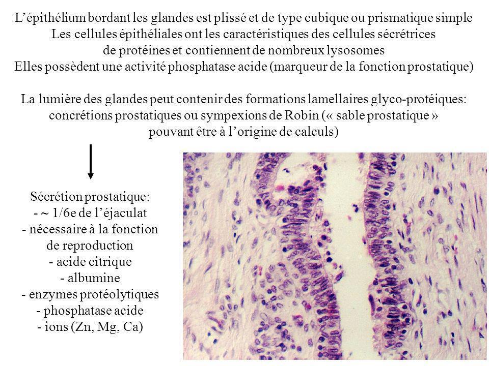 Lépithélium bordant les glandes est plissé et de type cubique ou prismatique simple Les cellules épithéliales ont les caractéristiques des cellules sécrétrices de protéines et contiennent de nombreux lysosomes Elles possèdent une activité phosphatase acide (marqueur de la fonction prostatique) La lumière des glandes peut contenir des formations lamellaires glyco-protéiques: concrétions prostatiques ou sympexions de Robin (« sable prostatique » pouvant être à lorigine de calculs) Sécrétion prostatique: - ~ 1/6e de léjaculat - nécessaire à la fonction de reproduction - acide citrique - albumine - enzymes protéolytiques - phosphatase acide - ions (Zn, Mg, Ca)