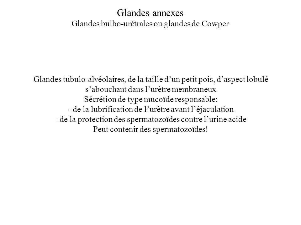 Glandes annexes Glandes bulbo-urétrales ou glandes de Cowper Glandes tubulo-alvéolaires, de la taille dun petit pois, daspect lobulé sabouchant dans l