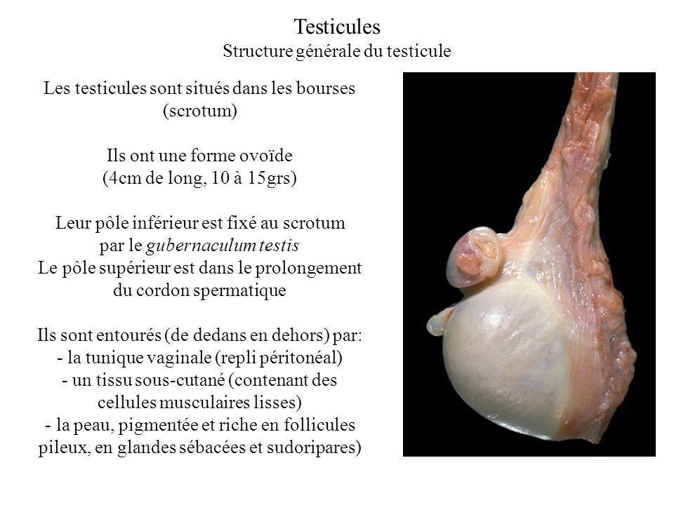 Testicules Structure générale du testicule Les testicules sont situés dans les bourses (scrotum) Ils ont une forme ovoïde (4cm de long, 10 à 15grs) Leur pôle inférieur est fixé au scrotum par le gubernaculum testis Le pôle supérieur est dans le prolongement du cordon spermatique Ils sont entourés (de dedans en dehors) par: - la tunique vaginale (repli péritonéal) - un tissu sous-cutané (contenant des cellules musculaires lisses) - la peau, pigmentée et riche en follicules pileux, en glandes sébacées et sudoripares)