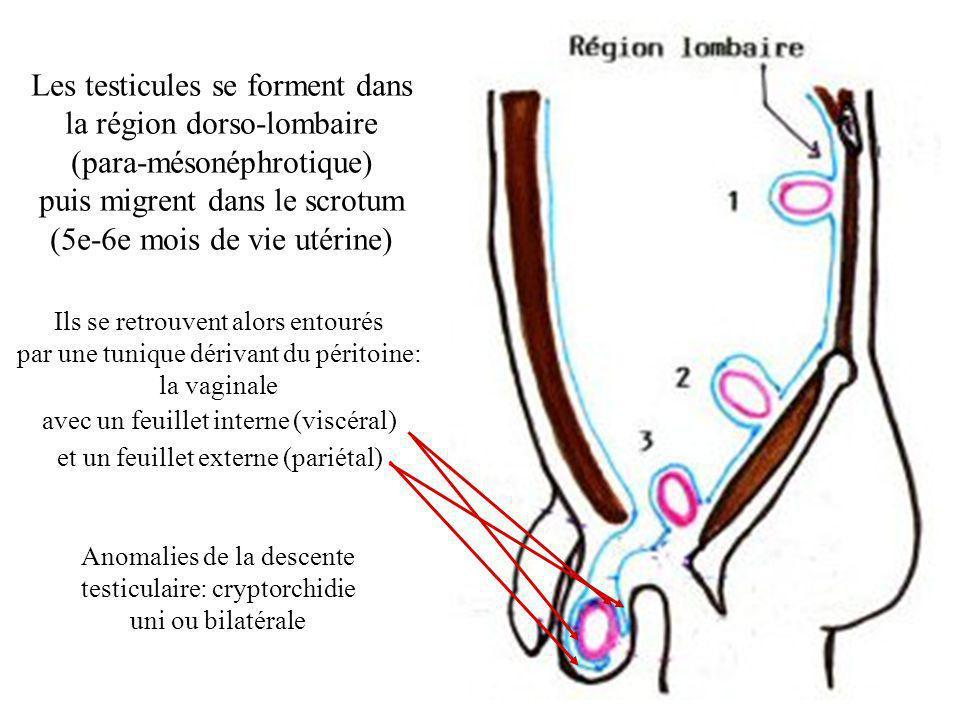 Les testicules se forment dans la région dorso-lombaire (para-mésonéphrotique) puis migrent dans le scrotum (5e-6e mois de vie utérine) Ils se retrouvent alors entourés par une tunique dérivant du péritoine: la vaginale avec un feuillet interne (viscéral) et un feuillet externe (pariétal) Anomalies de la descente testiculaire: cryptorchidie uni ou bilatérale