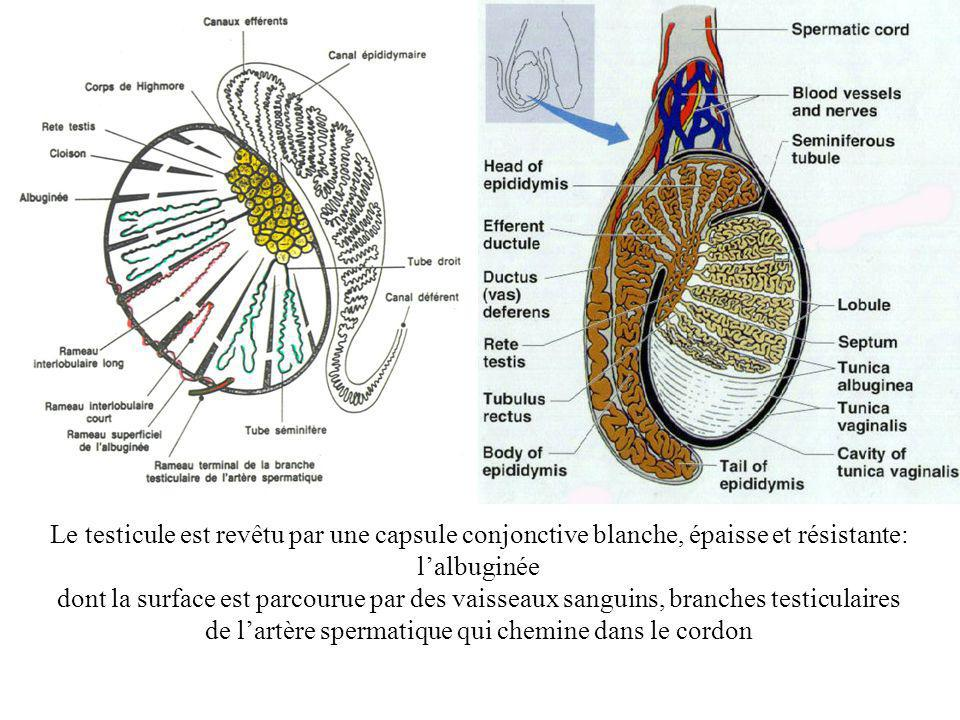 Le testicule est revêtu par une capsule conjonctive blanche, épaisse et résistante: lalbuginée dont la surface est parcourue par des vaisseaux sanguins, branches testiculaires de lartère spermatique qui chemine dans le cordon