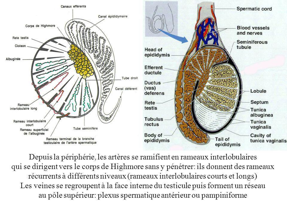 Depuis la périphérie, les artères se ramifient en rameaux interlobulaires qui se dirigent vers le corps de Highmore sans y pénétrer: ils donnent des rameaux récurrents à différents niveaux (rameaux interlobulaires courts et longs) Les veines se regroupent à la face interne du testicule puis forment un réseau au pôle supérieur: plexus spermatique antérieur ou pampiniforme