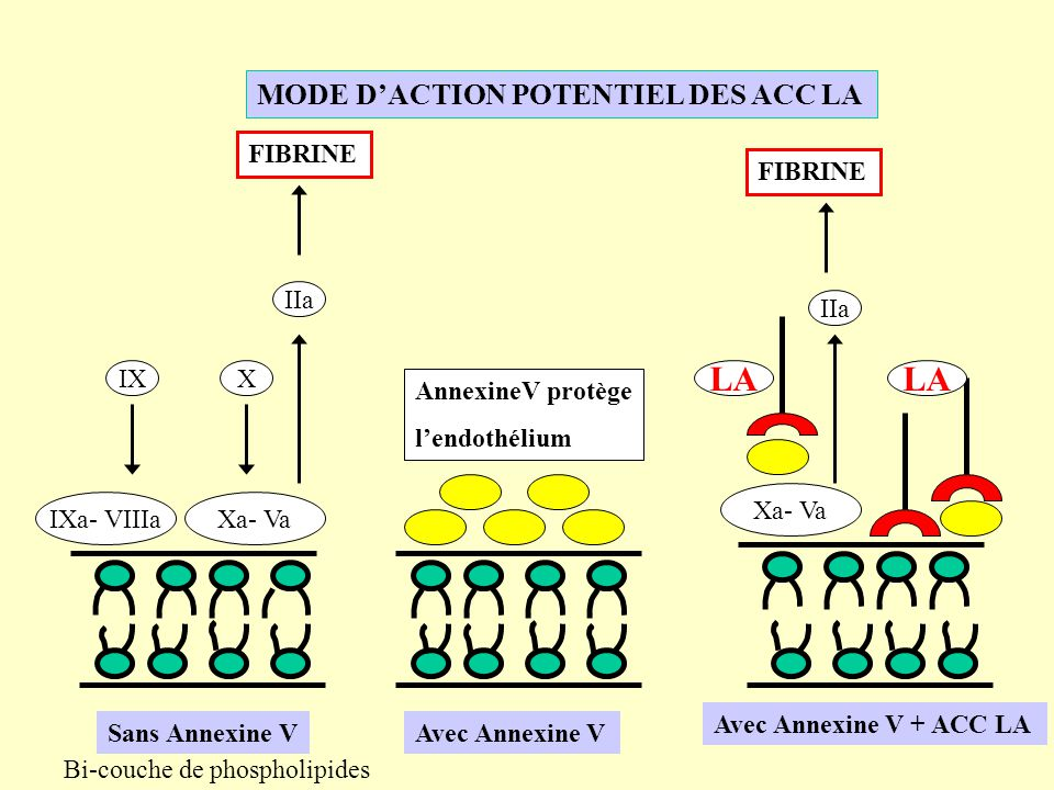 MODE DACTION POTENTIEL DES ACC LA PGI2 Inhibition de l agrégation plaquettaire AT HS Inhibition IIa, Xa TMIIa PC PCa PS Inhibition Va, VIIIa tPA LA
