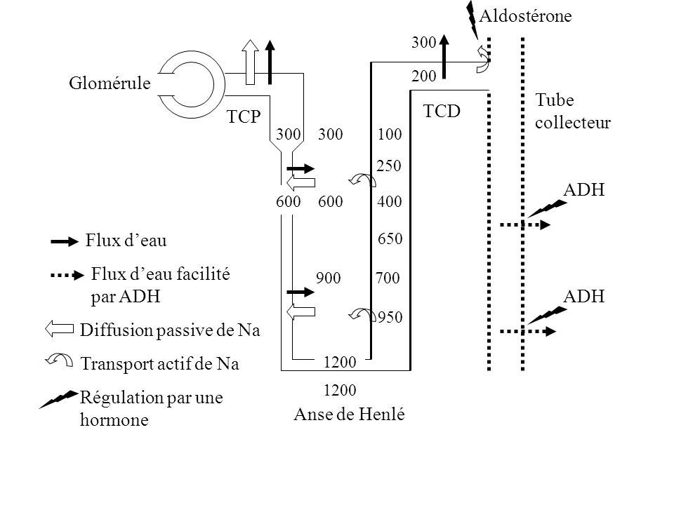 300 300 100 250 600 600 400 650 900 700 950 1200 Glomérule TCP TCD Anse de Henlé Tube collecteur Flux deau Diffusion passive de Na Transport actif de