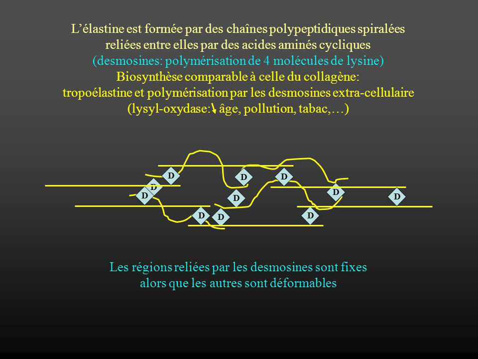 Lélastine est formée par des chaînes polypeptidiques spiralées reliées entre elles par des acides aminés cycliques (desmosines: polymérisation de 4 mo