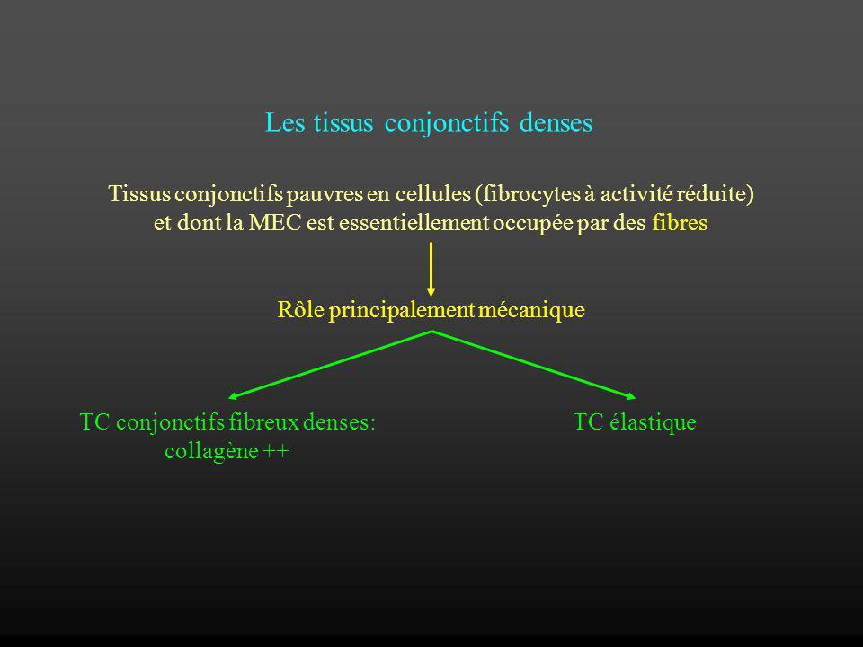 Les tissus conjonctifs denses Tissus conjonctifs pauvres en cellules (fibrocytes à activité réduite) et dont la MEC est essentiellement occupée par de