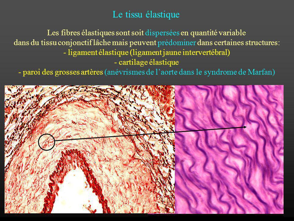 Les fibres élastiques sont soit dispersées en quantité variable dans du tissu conjonctif lâche mais peuvent prédominer dans certaines structures: - li