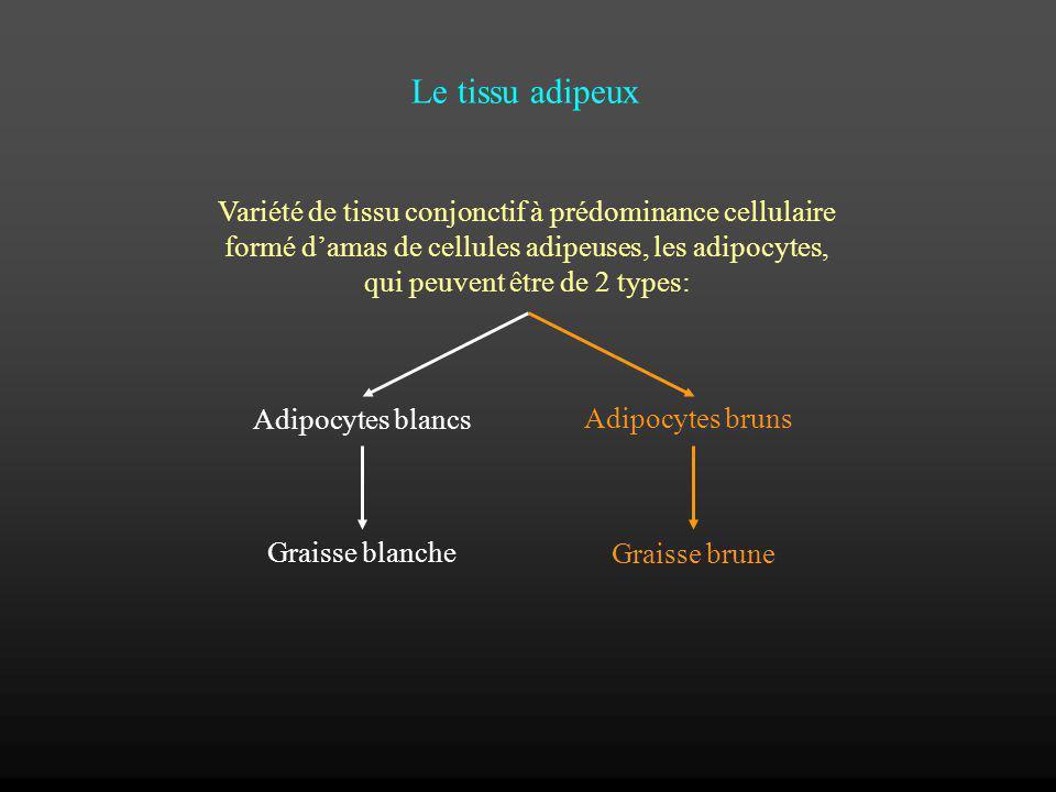 Le tissu adipeux Variété de tissu conjonctif à prédominance cellulaire formé damas de cellules adipeuses, les adipocytes, qui peuvent être de 2 types: