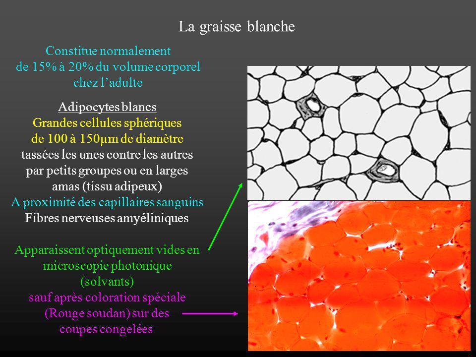 La graisse blanche Constitue normalement de 15% à 20% du volume corporel chez ladulte Adipocytes blancs Grandes cellules sphériques de 100 à 150µm de