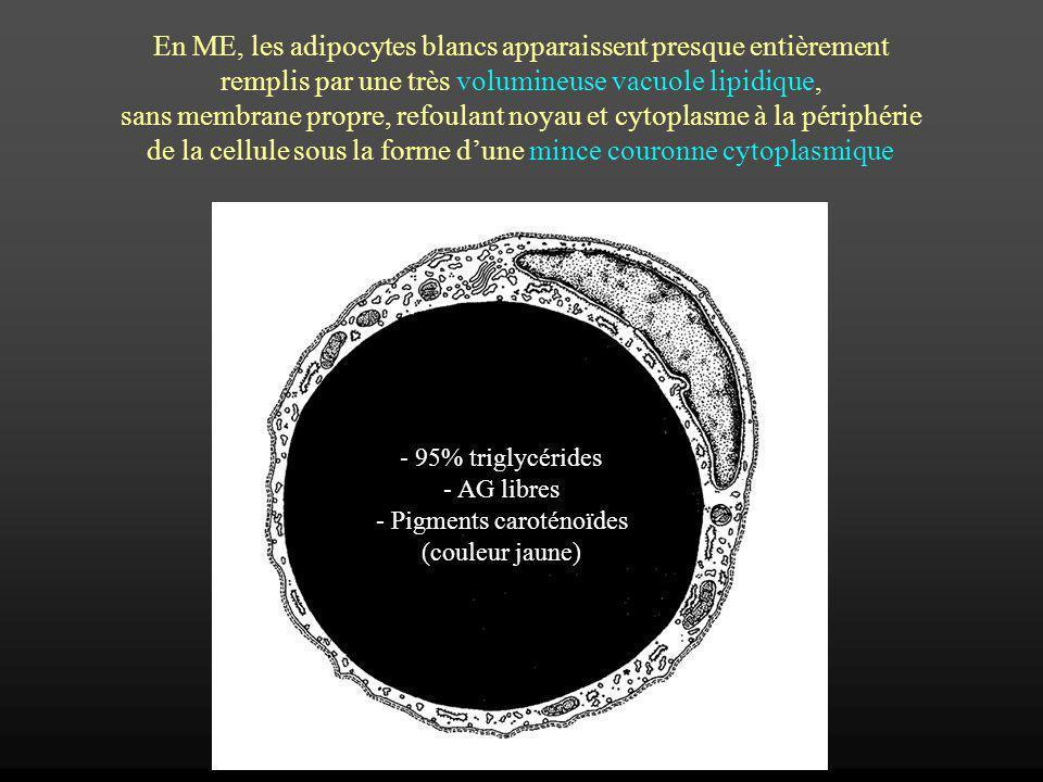 En ME, les adipocytes blancs apparaissent presque entièrement remplis par une très volumineuse vacuole lipidique, sans membrane propre, refoulant noya
